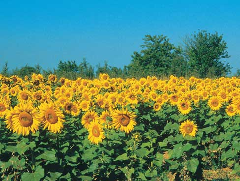 Sunflowers in sunny Poitou Charentes