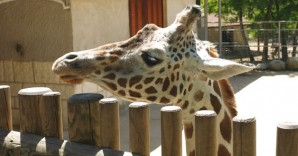 Giraffe_630x356