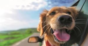 Dog outside a car - Chien en voiture